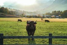 vaches à Megève